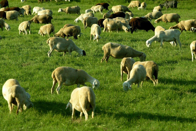 Un rebaño de ovejas siembra el caos en Gales tras