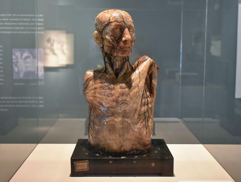 Arte y Carne: La exposición que detalla la anatomía humana ...