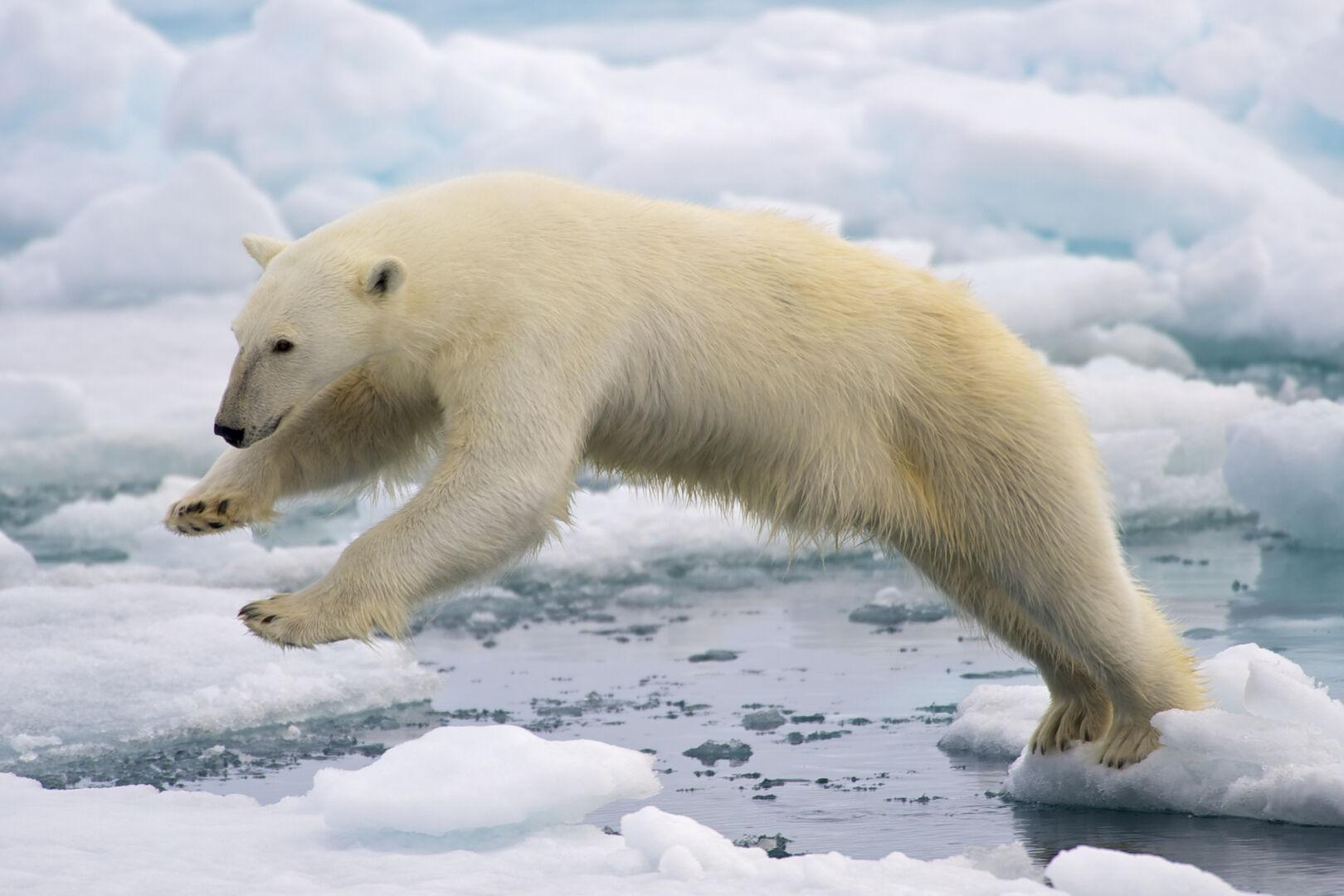 Imagenes De Osos Polares: La Población De Osos Polares Crece Mientras Los Ponen