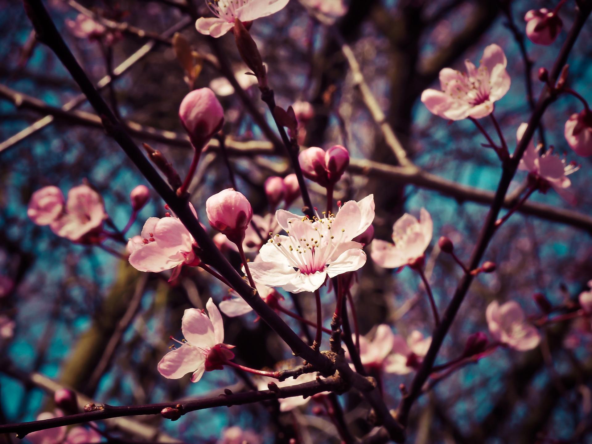 flor-de-almendro.jpg