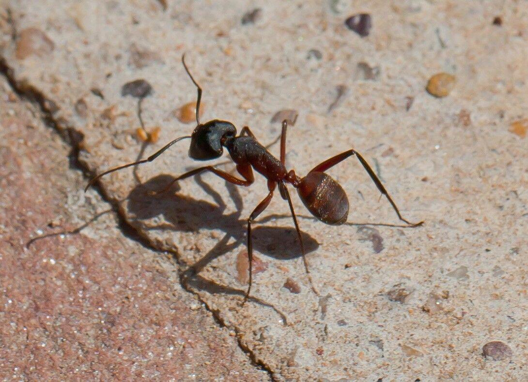hormigas domésticas