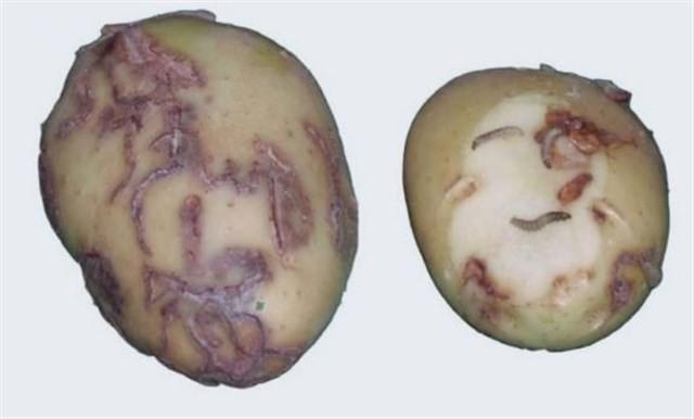 polilla-patata.jpg