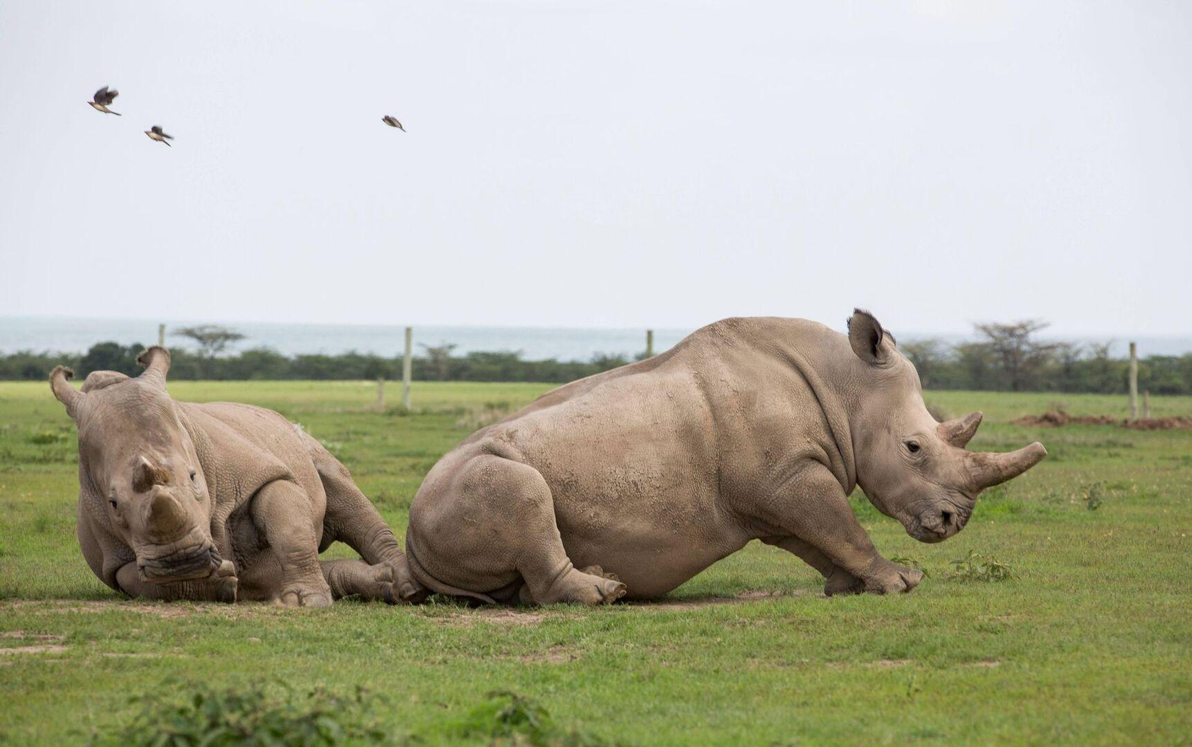 Logran dos embriones viables del casi extinto rinoceronte blanco