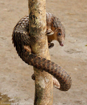 Salud, Belleza y Moda Poledancing-for-darwinwhite-bellied-pangolin-manis-tricuspis-rare-and-wonderful-as-this-sighting-may-be-exquisite-creatures-like-this-