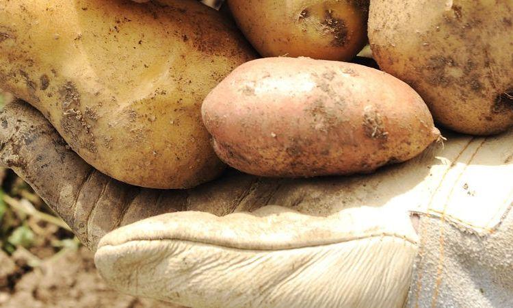 patatas 5 3