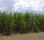 Una plantación de caña de azúcar.