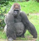Un gorila, nuevo sujeto de derechos