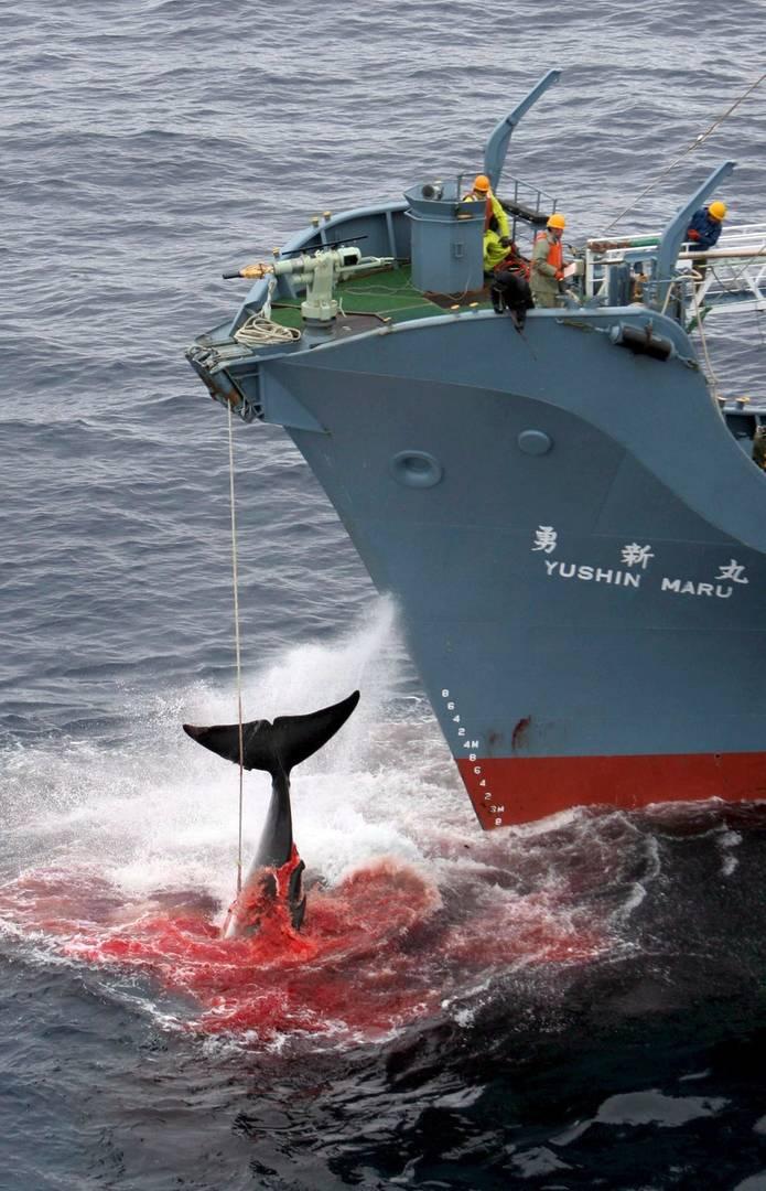 La ONU frena la caza de ballenas con fines científicos de Japón ...