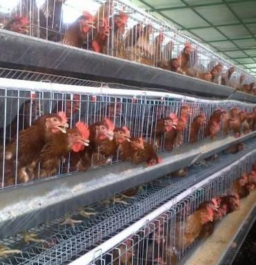 Resultado de imagen para gallina en jaula