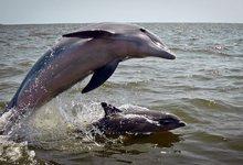 ¿Qué silbidos corresponderán a estos delfines? | Flickr/CC/Jual