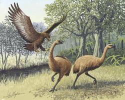 Ilustración de un ataque del águila de Haast a dos moa.   Wikipedia/John Megahan
