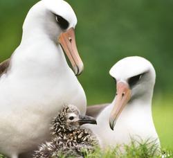Pareja de hembras de Albatros Laysan, criando a un polluelo | Corbis