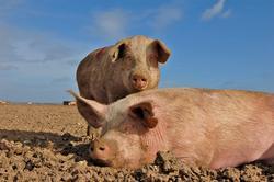 La UE quiere que se deje de castrar a los cerdos por su bienestar. | Flickr/CC/Raj