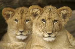 Crías de león.   Cordon Press