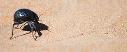 Escarabajo del desierto de Namib. | Wikipedia/Moongateclimber