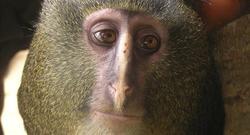El lesula, una nueva especie de mono   Plos One