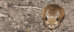 Una rata mirando fijamente (o no).   Corbis