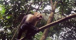 Un tití en el Parque Nacional Manuel Antonio de Costa Rica. | Flickr/CC/Samuel Landete