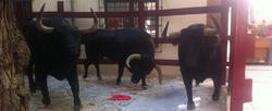 Los toros que se exponen en la tienda | Facebook de Toro Coe Coe