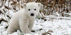 Una cría de oso polar en un zoológico.