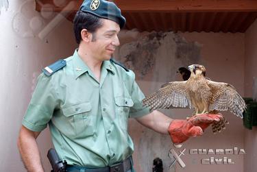 Un agente del Seprona con un halcón   Guardia Civil