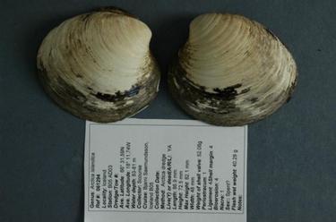 La almeja Ming, el animal más viejo del mundo. | Universidad de Bangor