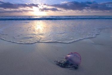 Carabela Portuguesa varada en la playa | Archivo/Corbis