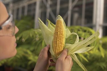 Algunas variedades de maíz transgénico llevan más de quince años consumiéndose en EEUU sin problemas. | Corbis