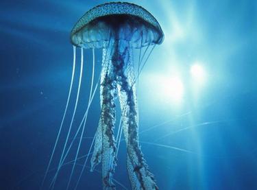 Hay que comer medusas para evitar su proliferación.    Archivo