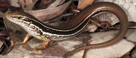 'Ctenotus ora', la nueva lagartija   Efe