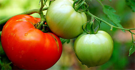 Tomates en su rama |Flickr / Manjith Kainickara