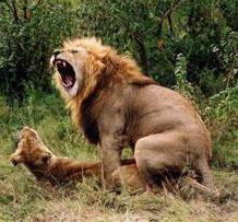 León copulando