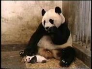 ¿Cómo estornuda un oso panda?