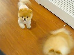 Boo, el perro con más seguidores del mundo