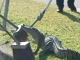 Un cocodrilo es arrestado en Australia