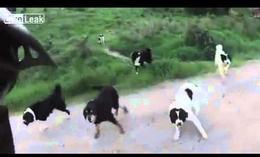 Decenas de perros contra un ciclista