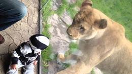 El bebé que no teme a los leones