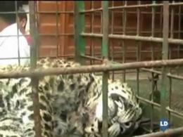 Un leopardo muy agresivo