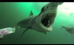 Tiburón desesperado por comer