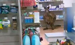 Un canguro en una farmacia